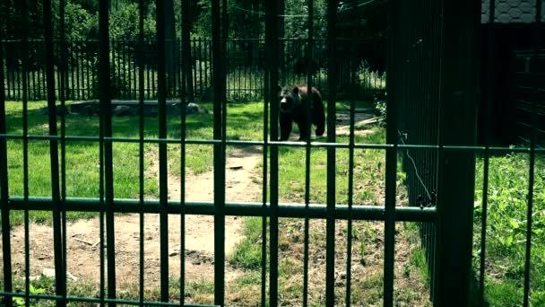 V létě chodí medvěd hnědý v kleci v zoo parku. 4K