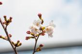 Kvetoucí třešeň na jaře na pozadí nebo kopírovat prostor pro text