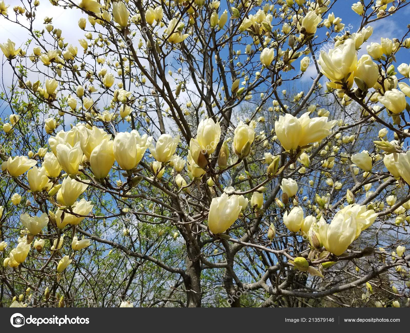 Spring Yellow Magnolia Tree Blossoms Stock Photo Virynchuk
