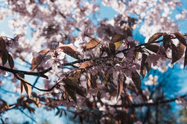 blossoming cherry twigs spring