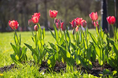 Tulips blossomed on the flower beds of the city