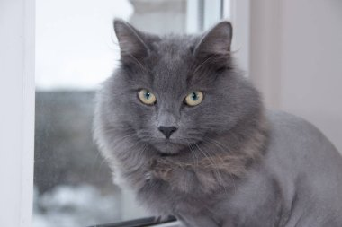 Gray domestic cat on the windowsill. Cat with a haircut.