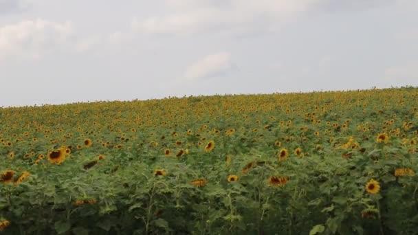 Slunečnice se houpá ve větru. Žluté slunečnice. Květiny se semeny. . Pole žlutých slunečnic