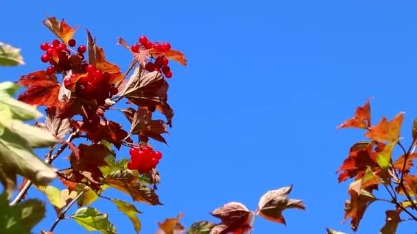 Viburnum ág a szélben a kék ég ellen. Egy ág a kék ég ellen. Vörös bogyó. Hasznos bogyók. Szüret. A viburnum előnyeiről és ártalmairól szóló cikk.