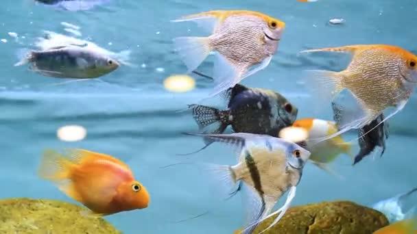 Decorative fish in the aquarium. Angelfish and Goldfish.
