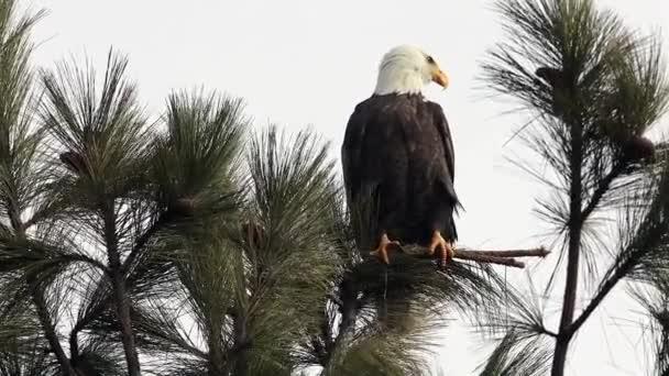 Video csíptet-ból egy fenséges kopasz sas ült egy fa keres élelmiszer-Coeur dAlene Idaho Észak-tónál.