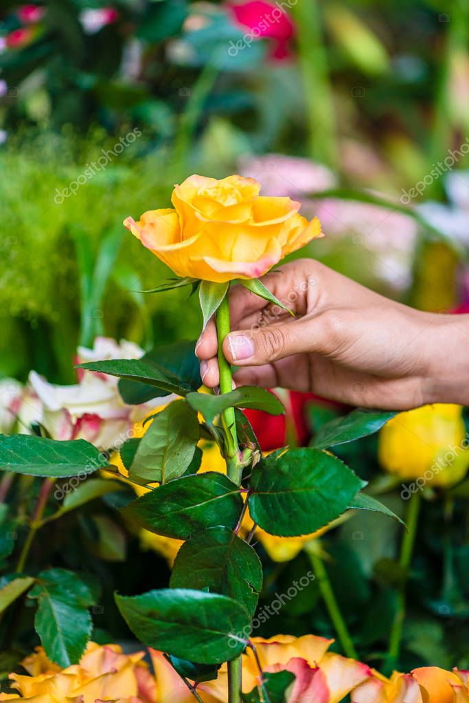 Hand of a man picking up a beautiful yellow rose in a modern flower shop