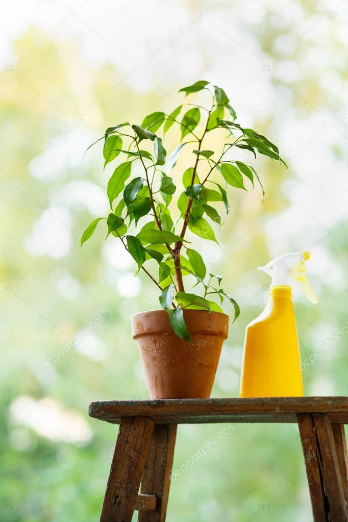 Watering and spraying of home ficus