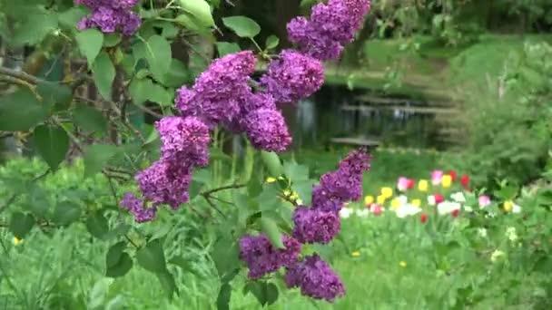 Kvetoucí krásné jarní fialová větev ve větru