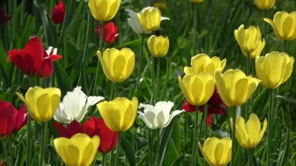 Barevné různé jarní tulipány květiny pozadí ve větru