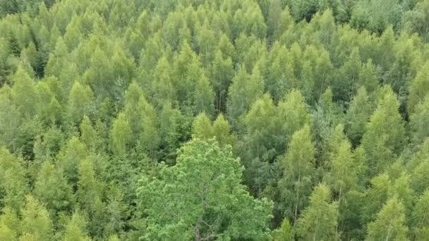 Laubwald Baumwipfel Hintergrund im Sommer, Luftaufnahme