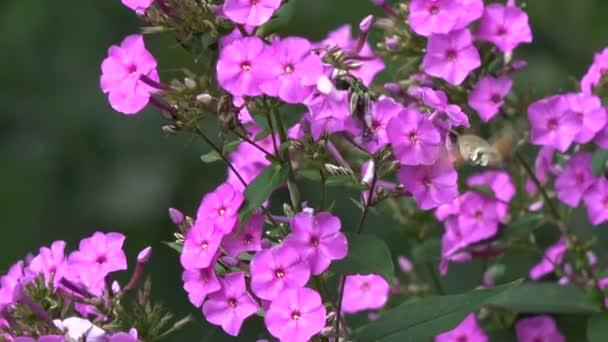 Krásné letní motýlí kolibřík Hawk-moth Dlouhozobka svízelová v pohybu u zahradní květiny