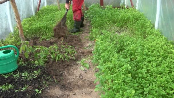 Zahradník kopat zahrabat zelené hnůj hořčice rostliny v podzimním skleníku