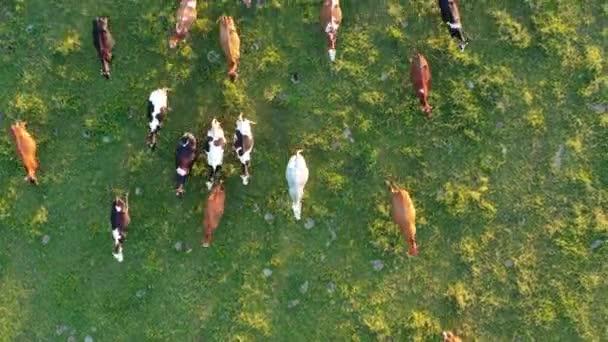 Mnoho krav na zelené letní louce, letecký pohled