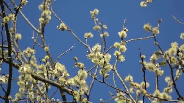 Tavaszi virágzó kecske fűzfa Salix caprea ágak arany catkins