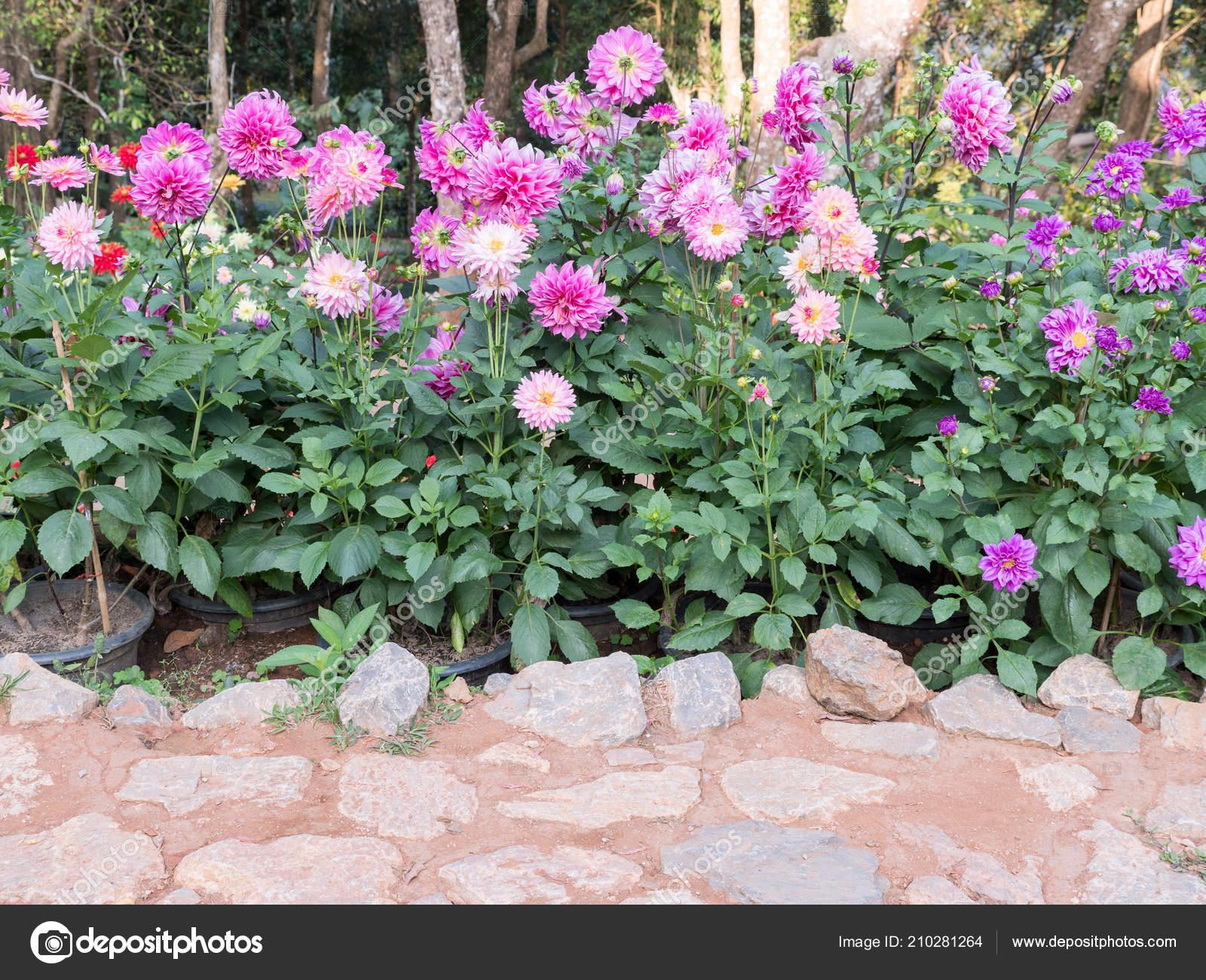 Dahlia Flower Row Stone Pavement Botaincal Garden Stock Photo