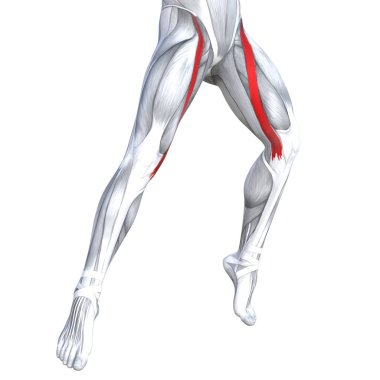 Concept conceptual 3D illustration fit strong front upper legs human anatomy, anatomical muscles isolated white background for body medical health tendon foot and biological gym fitness muscular system