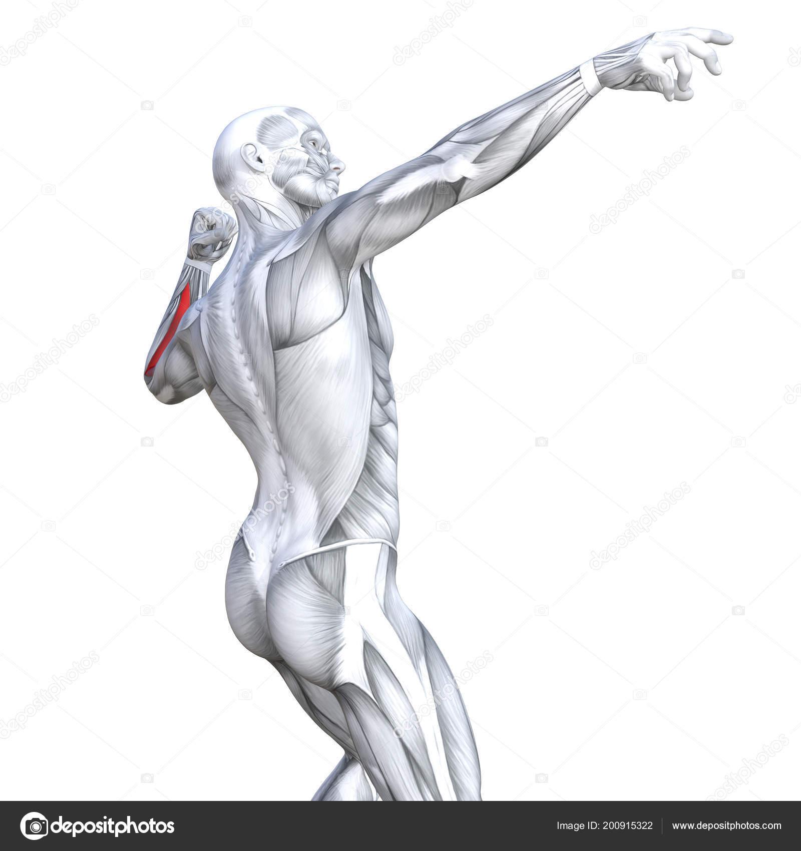 Detrás Concepto Conceptual Ilustración Ajuste Fuerte Anatomía Humana ...