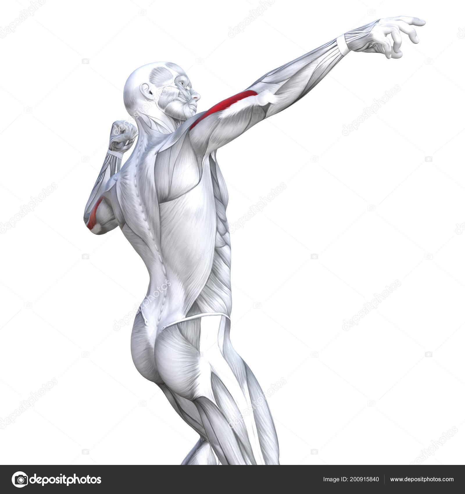 Concepto Conceptual Ilustración Tríceps Ajuste Fuerte Anatomía ...