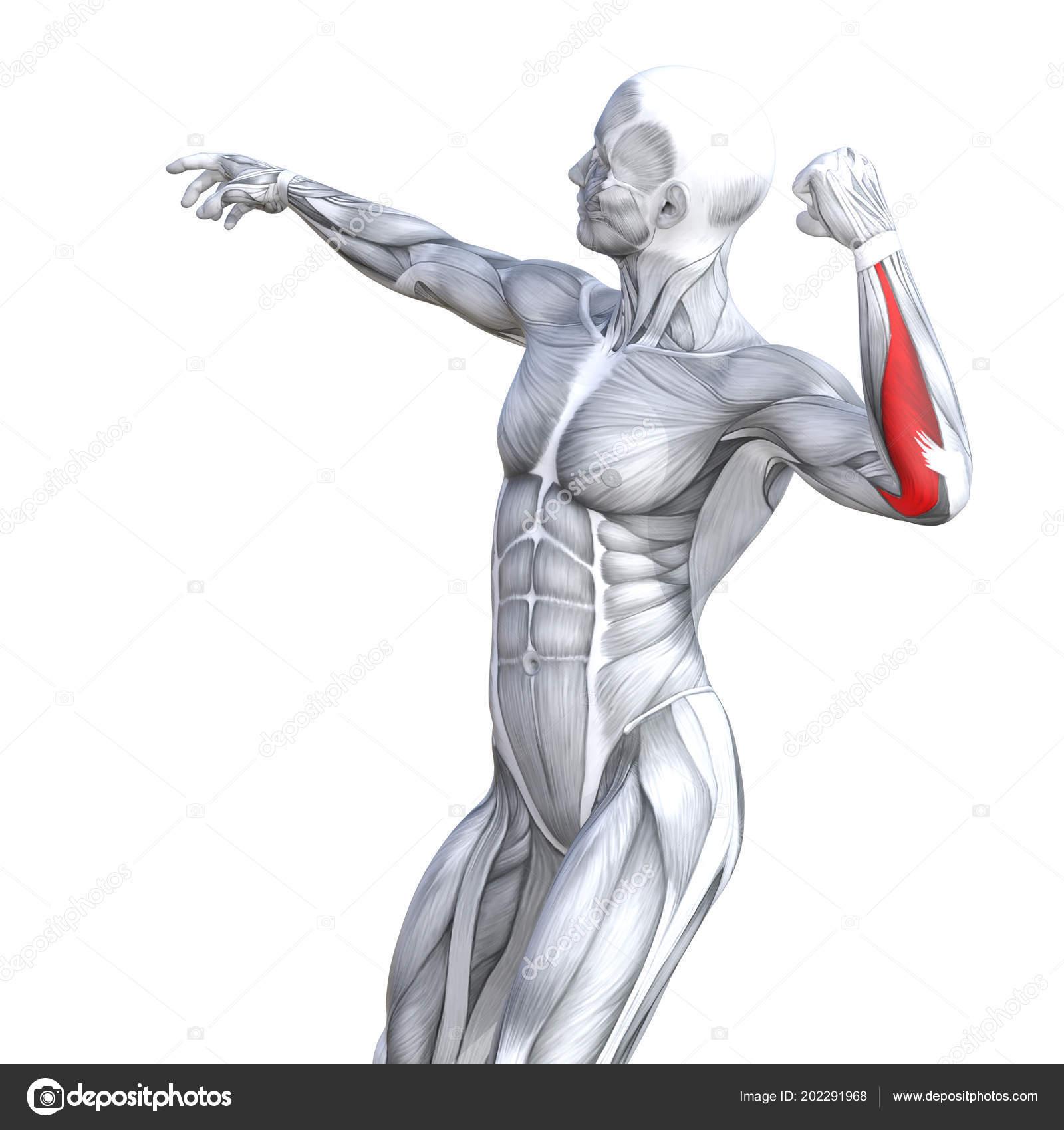 Pecho Ilustración Concepto Conceptual Ajuste Fuerte Anatomía Humana ...