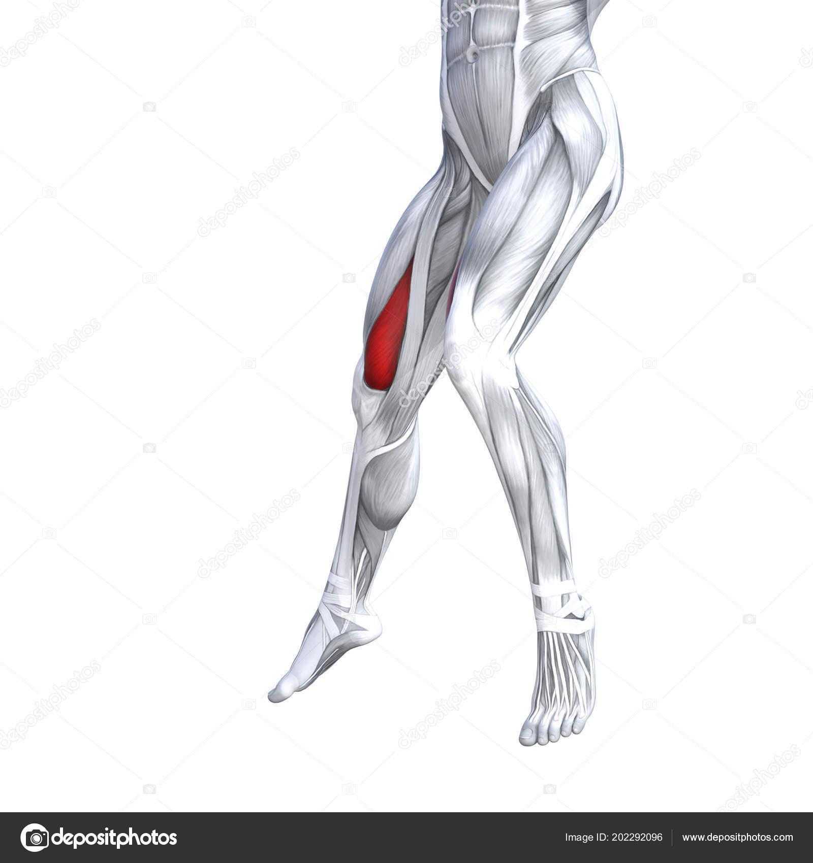Concept Conceptual Illustration Fit Strong Front Upper Leg Human ...