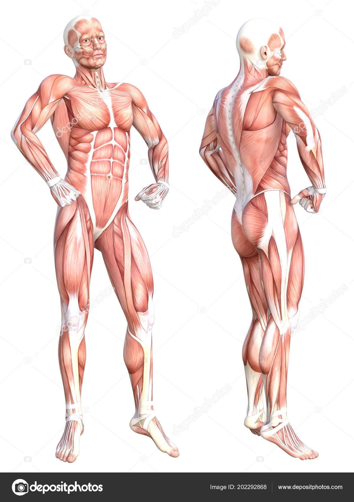 Anatomie Corps Humain Homme conceptuel anatomie corps humain sans peau saine muscle système