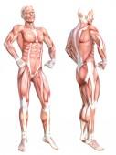 Anatomia concettuale corpo umano senza pelle sano muscolare sistema insieme. Uomo adulto giovane atletico in posa per leducazione, sport fitness, medicina isolato su priorità bassa bianca. Illustrazione 3d di scienza di biologia