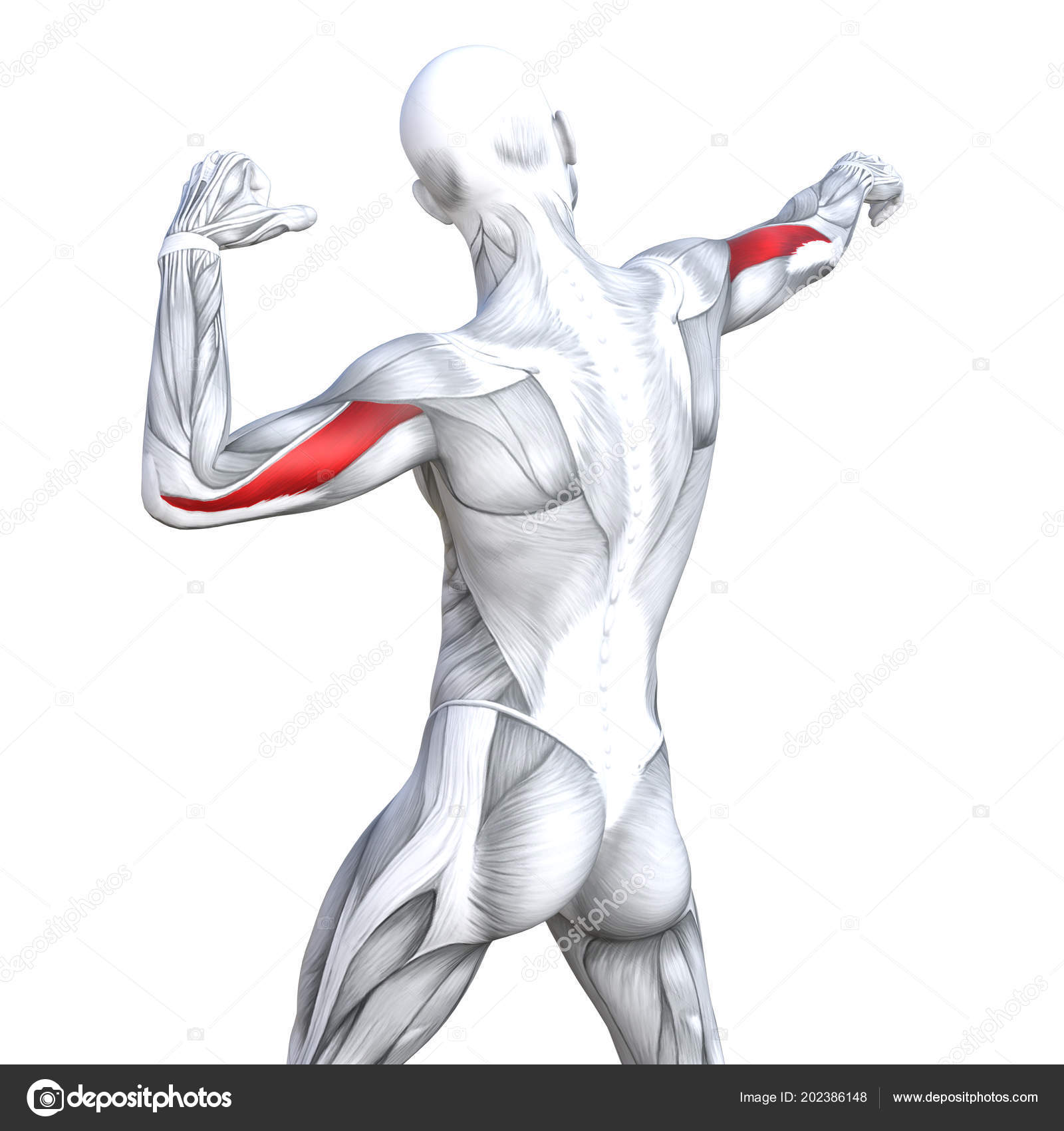 Concept Conceptual Illustration Triceps Fit Strong Human Anatomy