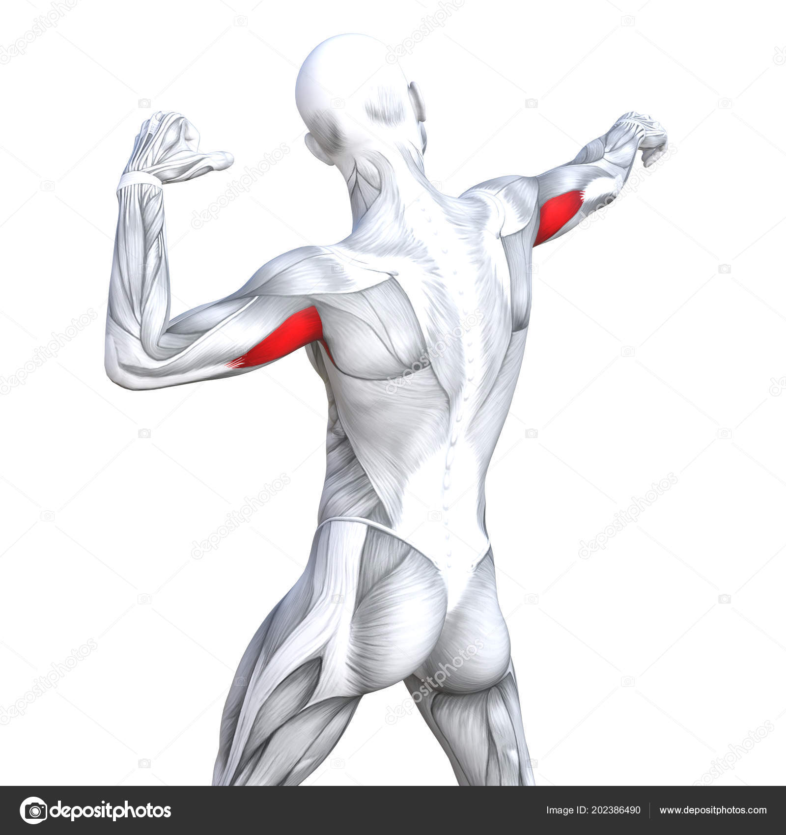 Concept Conceptual Illustration Triceps Fit Strong Human Anatomy ...