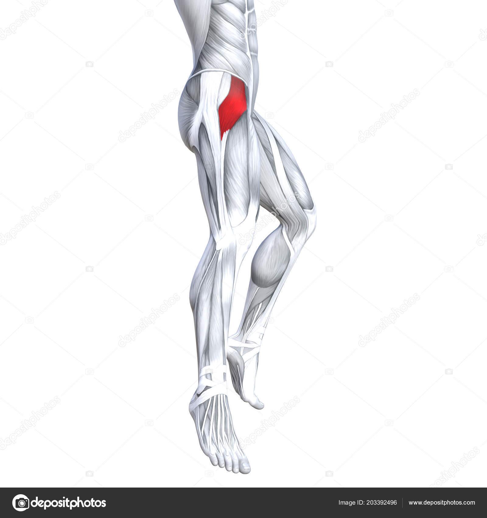Ilustración Conceptual Concepto Ajuste Anatomía Humana Fuerte Pierna ...