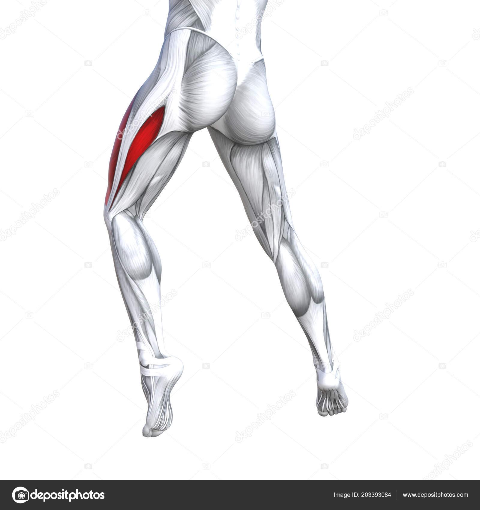 Ilustración Conceptual Concepto Ajuste Fuerte Anatomía Humana ...