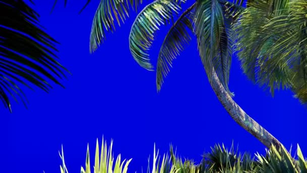 Branches of a palm tree and a tropical plant in the wind on a blue screen. Beautiful summer looped background.