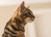 Fotografie Beautiful feline cat at home. Domestic animal