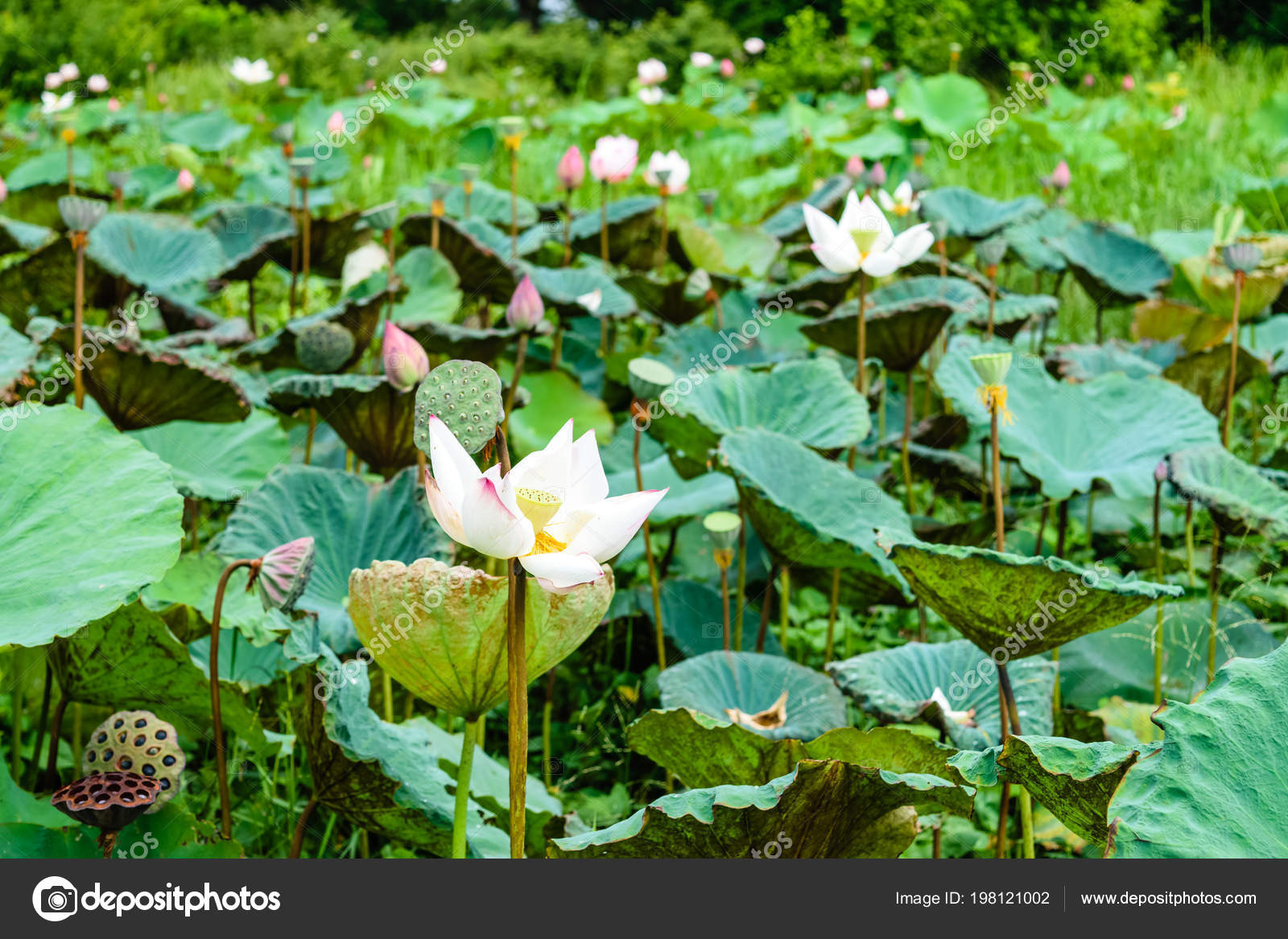 Beautiful Lotus Flower Symbol Buddha Thailand Stock Photo