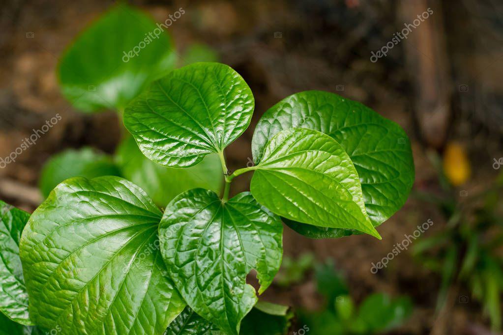 green Piper sarmentosum