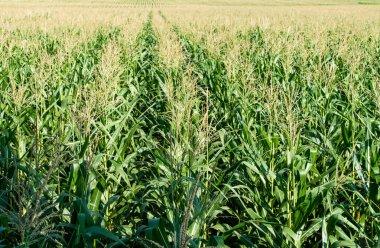 corn field in agricultural garden