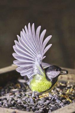 Tit freeze birds parus on the food. Speedlight photo