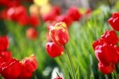 Virágzó tulipánok a kertben tavasszal