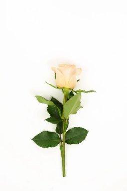 Flowers background. One flower cream rose on white background. Minimalism