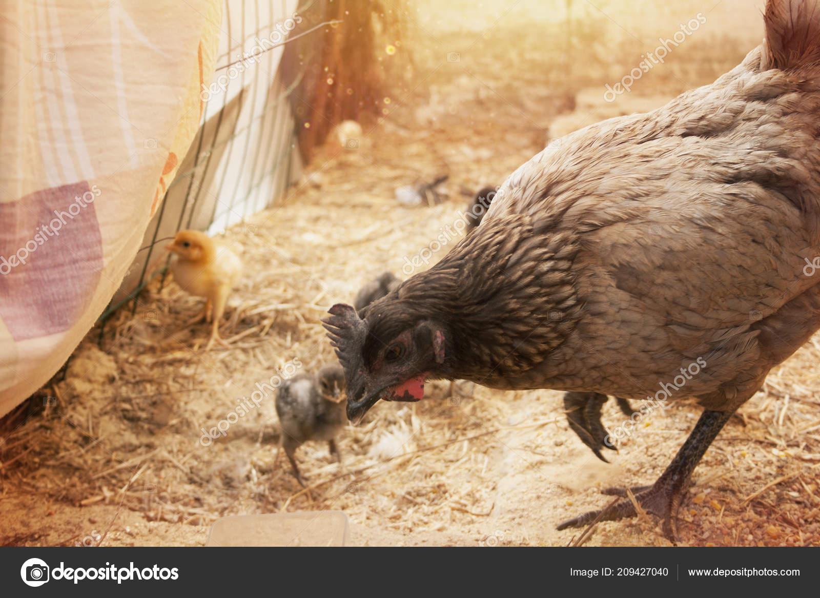 Mother Hen Chicks Coop Stock Photo Jerez56b 209427040