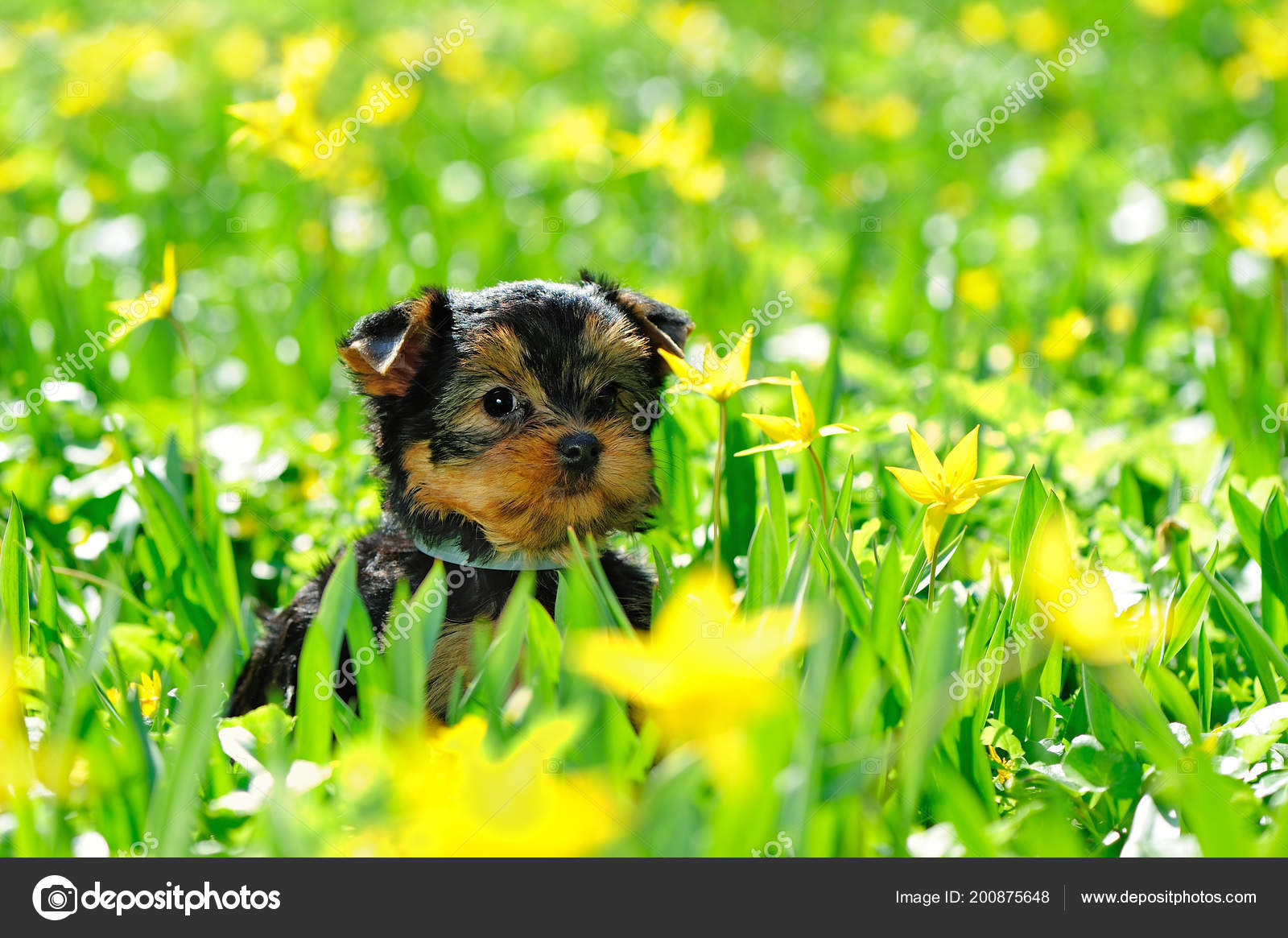 Cute Yorkshire Terrier Puppy Sitting Lawn Yellow Flowers Stock