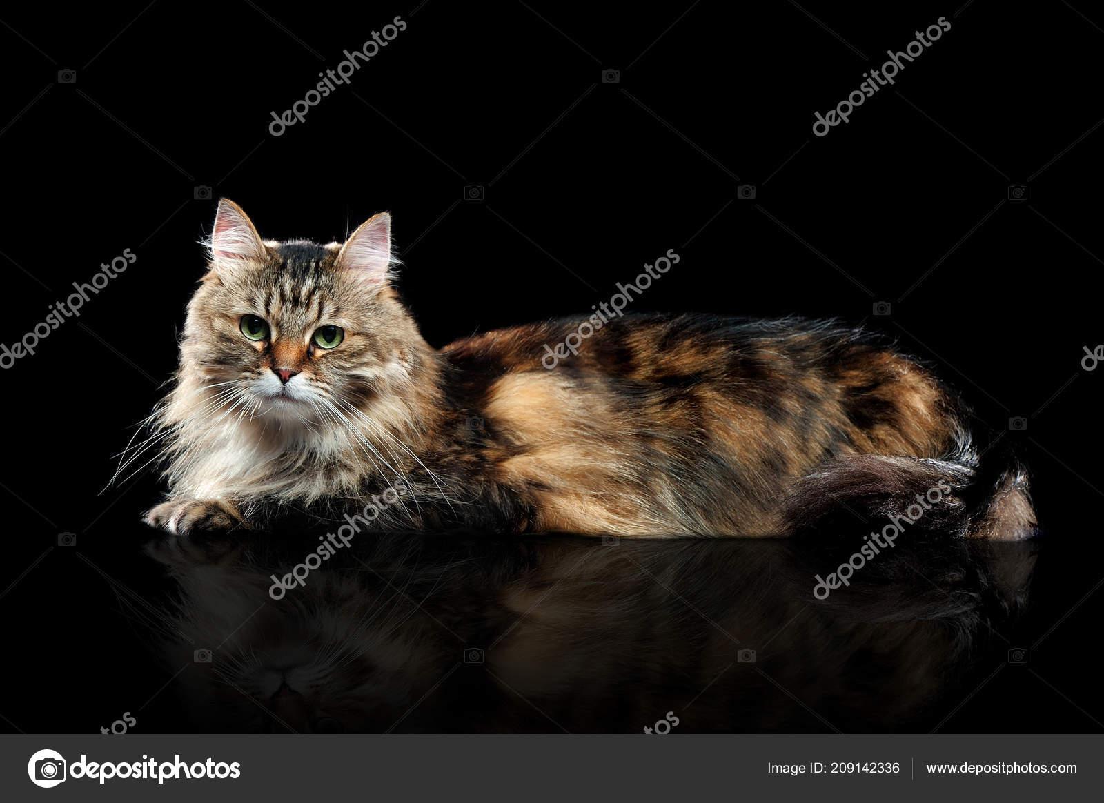 Velké hnědé kočička fotky