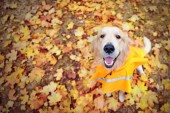 Top view of a golden retriever at fall leafs background