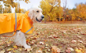 Wide banner with a golden retriever in raincoat against autumn park background