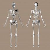 Front and back view of human skeleton on brown background