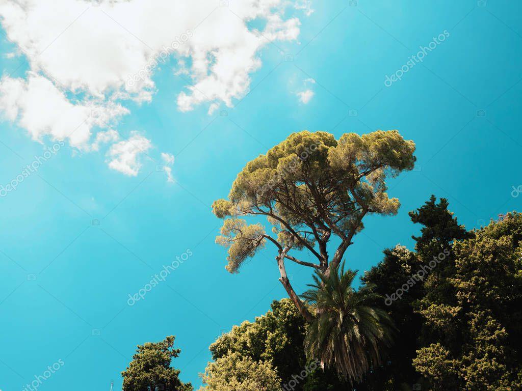 Beautiful pine tree on blue sky background, Rome