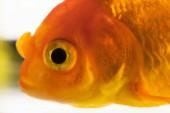 Fotografie Makro-Fischauge. Einzelne Erwachsene Goldfische im Aquarium isoliert auf weißem Hintergrund. Nahaufnahme. Haustiere-Konzept