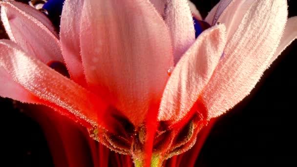 Bílý květ pod vodou s červeným inkoustem reagovat a vytvářet abstraktní oblačnosti. Lze použít jako přechody, přidán do moderních projektů, umělecká pozadí. Úžasné přírodní koncept