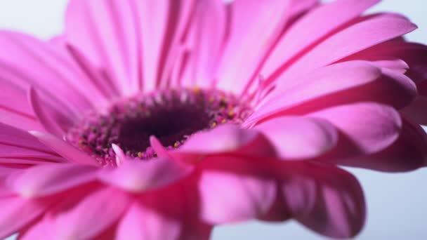 Pink bíbor Gerbera virág forog a kék elszigetelt háttér. Gyönyörű egyetlen virágzó Gerbera. Daisy virág az Asteraceae család. 4k.