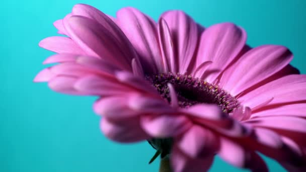 Květina růžová purpurová Gerbera se otáčí zprava doleva na modrém izolovaném pozadí. Krásná jednoduchá kvetoucí Gerbera. Daisy je květina z čeledi Asteraceae. 4k.